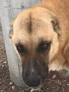 "Young Male Dog - Golden Retriever-Shepherd: ""Roxi Pending"""