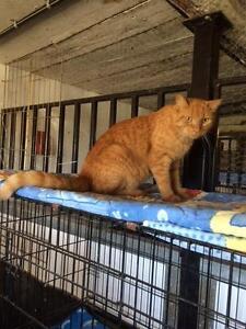 "Adult Male Cat - Domestic Short Hair-Tabby - Orange: ""Harley"""