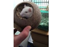 Two 10 month old Gerbils for Sale with Cage and Run