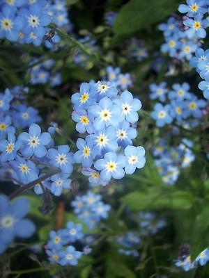 FLOWER FORGET ME NOT  - BLUE - MYOSOTIS ALPESTRIS  1.5 GM ~ 2200 SEEDS