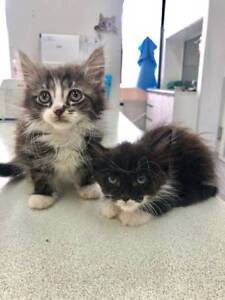 Male kittens up for Adoption