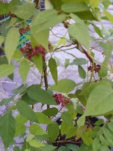 Apios americana Erdbirne Gemüse Kartoffel Heilpflanze Topinambur  staude