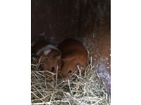2 Female Guinea Pigs Outdoor Hutch Thermal Cover