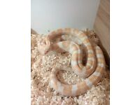 2 year old corn snake about 5 ft in length with vivarium and accessories .