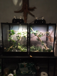 Breeding Pair Veiled Chameleons Includes Everything