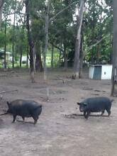 Fat Black Berkshire Pigs Hillwood George Town Area Preview