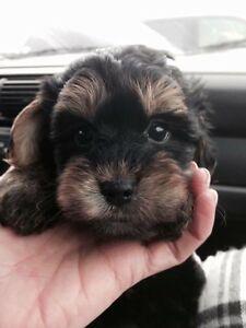 Puppies  / Morkies