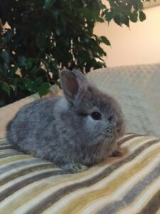HUGE DEAL!!! TWO PURE BRED MINIATURE LIONHEAD BUNNIES W. ACCESS.
