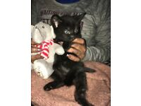 Cute half felix half siberian kitten ready to go