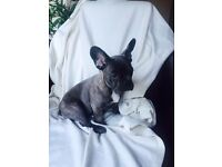 For sale Blue with brindle french bulldog boy