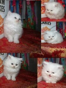 Doll face Persian kittens  (blue eyes)