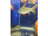 Flagtail fish for sale *stunning!* live tropical fish