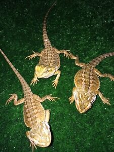 Red Phase Central Bearded Dragon Juvenile Mentone Kingston Area Preview