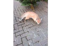 Prowling Fox - Vivid Arts