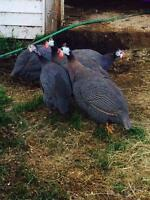 Guinea Fowl - Males only