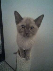 Burmese Pure Breed Kitten ,registered breeder. Keilor Park Brimbank Area Preview