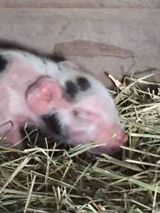 Australian Mini piglets Bluewater Townsville Surrounds Preview