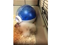 Syrian hamster needs a good home