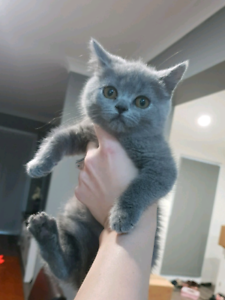 Male and female British shorthair kittens