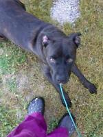 "Adult Female Dog - Cane Corso Mastiff-Rottweiler: ""Maisy"""