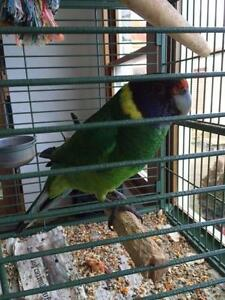 Australian Ring Neck Parrot - Twenty Eight Ulverstone Central Coast Preview