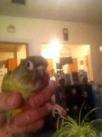 Young Tamed Conure