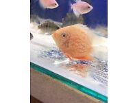 """Red Spot Severums 3-4"""" for sale *stunning!* live tropical fish"""