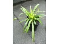 Yucca Plant for sale .