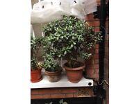 Large Jade/Money plants