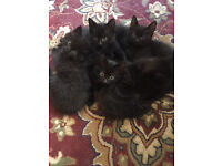 2 Kittens left for sale dark grey black 8 weeks old ready to go