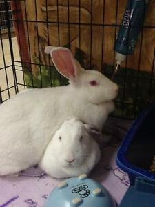 "Adult Female Rabbit - New Zealand: ""Prancer and Dancer"" Cambridge Kitchener Area image 2"