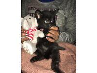 Cute half Siberian half felix fluffy kitten called chaka khan