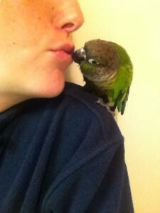 Green Cheek Conure and Budgie bonded pair