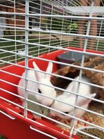 Beautiful White Hot Tot Bunnies for Sale - 1 male, 1 female