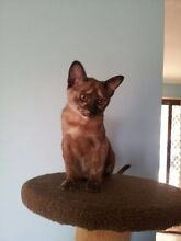 Burmese kittens Bundamba Ipswich City Preview