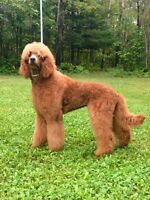 STUNNING RED STANDARD POODLE PUP