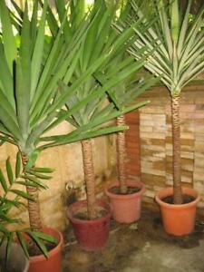 Potted large yacca/yukka plants