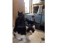 Black and white kittens - ready to go wormed and litter trained and flea free. really sweet bundles
