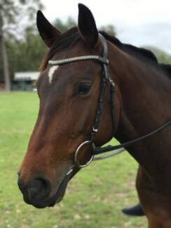 QUIET AND STEADY ALL-ROUNDER GELDING - QUARTER/STOCK HORSE