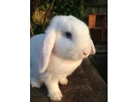 7 LOP EARED RABBITS FOR SALE!