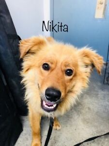 "Adult Male Dog - Spaniel-Husky: ""Nikita"""