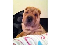 Five month old Shar Pei