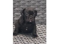 Full pedigree French bulldog pups for sale.
