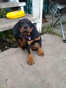 COONHOUND BLACK & TAN PUPPIES READY TO GO