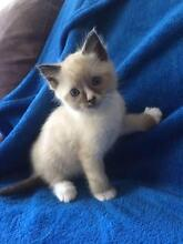 Ragdoll cross kittens Cooranbong Lake Macquarie Area Preview