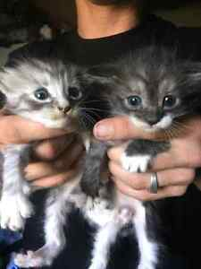 Kittens for free to GOOD  home. Millers Forest Maitland Area Preview