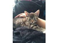 Beautiful tabby patterned half Maine Coon 19 week old neutered female kitten