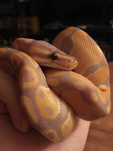 Beautiful Banana Python for Sale