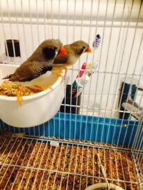 pair of black checked crested pair zebra finches