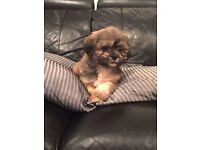 Lhasa Apso Puppies 8 Weeks Old 1 Boy Left